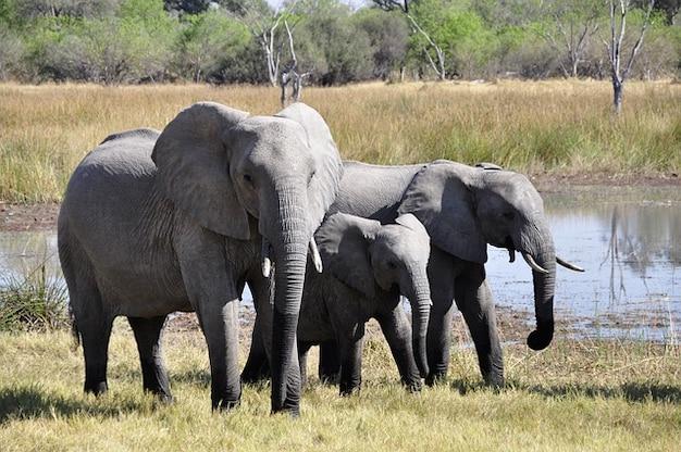 Animaux safari éléphant afrique du delta d'okavango