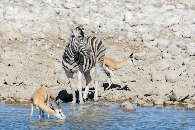 Animaux sauvages d'afrique -gnou, koudou, orix, springbok, zèbres, eau potable dans un trou d'eau