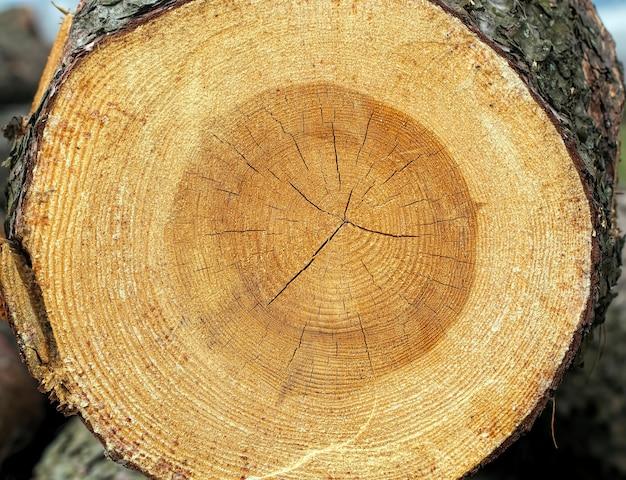 Anneaux annuels sur un tronc d'arbre scié qui a été laissé après l'exploitation forestière en europe de l'est