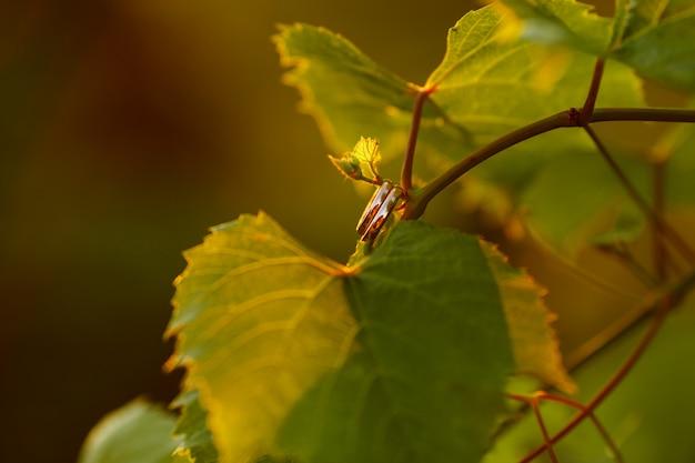Anneaux de mariage en or classiques allongés sur des feuilles de vigne