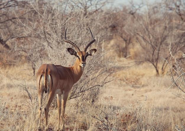 Antileope impala dans la nature sauvage de l'afrique. concept de safari
