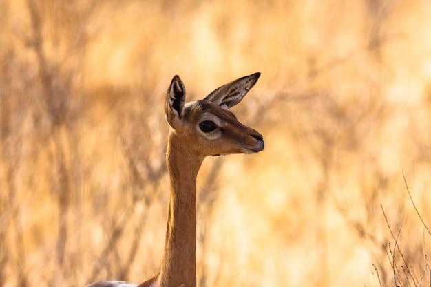Antilope d'afrique. gazelle gerenuk. samburu, kenya.