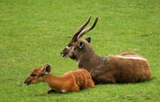 Antilope, bébé