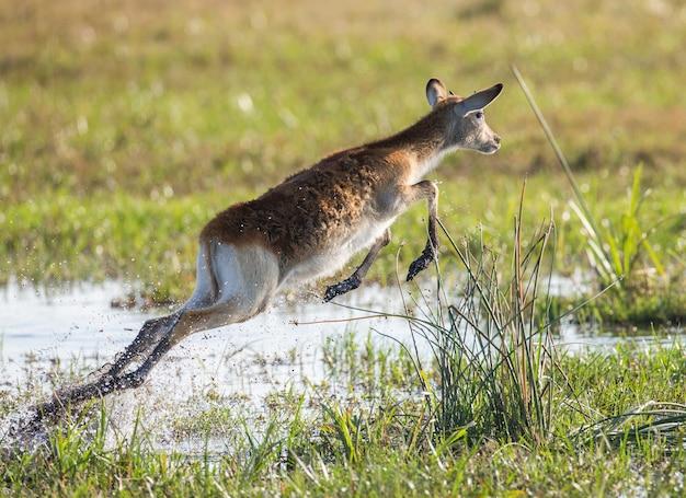 Antilope courant sur l'eau, entourée d'éclaboussures