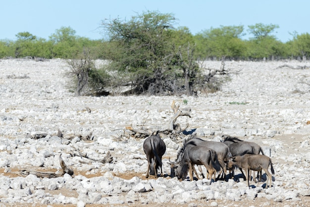 Antilope gnou sauvage dans le parc national africain