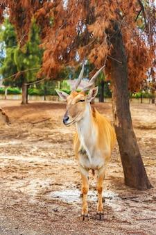 Antilope koudou à cornes dans la nature debout sous un arbre