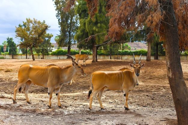 Antilope koudou à cornes dans la nature debout sous un arbre.