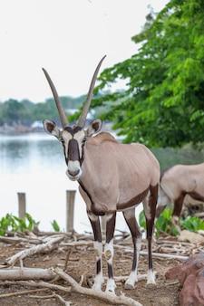 L'antilope oryx mâle dans le jardin