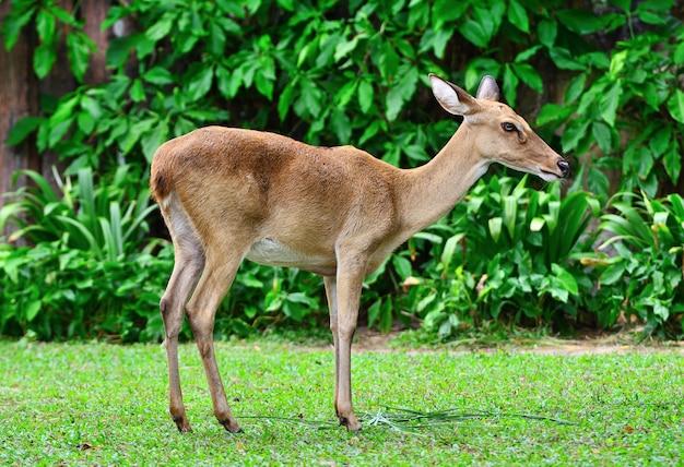Antilope portrait sur l'herbe verte ont l'arrière-plan de la brousse