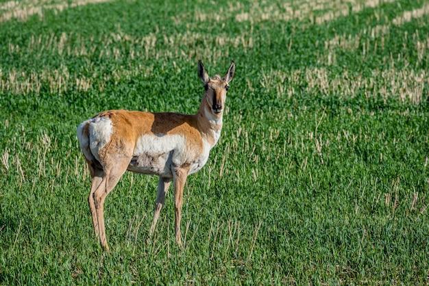 Antilope pronghorn, pâturage, dans, a, champ, dans, saskatchewan, canada