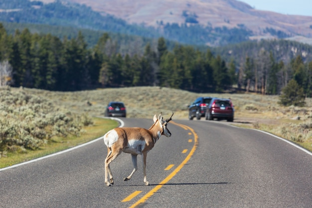 Antilope pronghorn sur la route, yellowstone, wyoming, usa