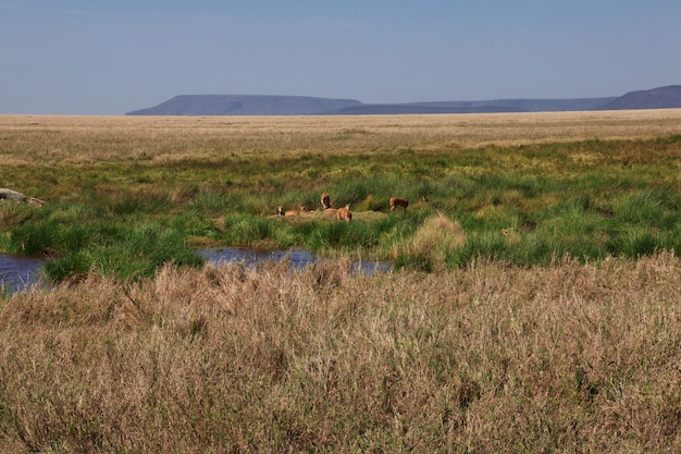 Antilope en safari au kenya et en tanzanie, en afrique