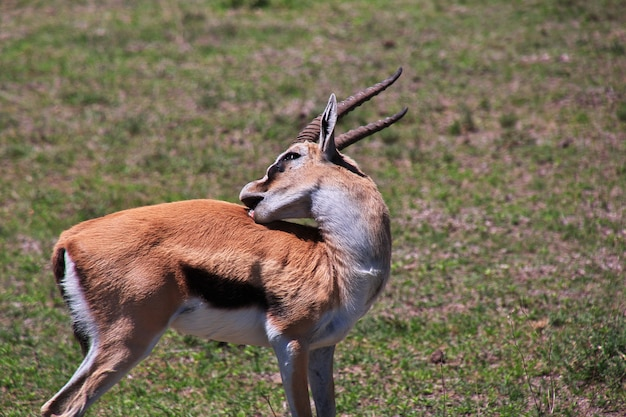 Antilope en safari au kenya et en tanzanie, afrique