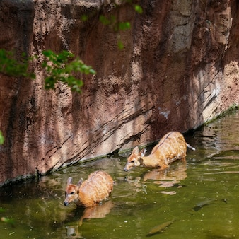Antilope sitatunga au bioparc de fuengirolacosta del sol espagne le 4 juillet 2017