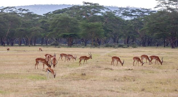 Antilopes sur une herbe verte