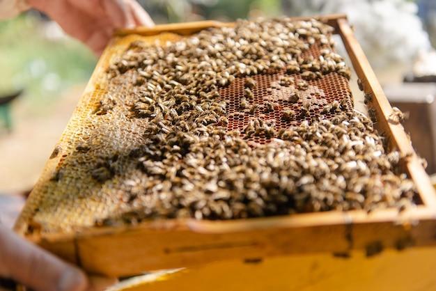 L'apiculteur ouvre la ruche, les abeilles vérifient, vérifient le miel. apiculteur explorant le nid d'abeilles.