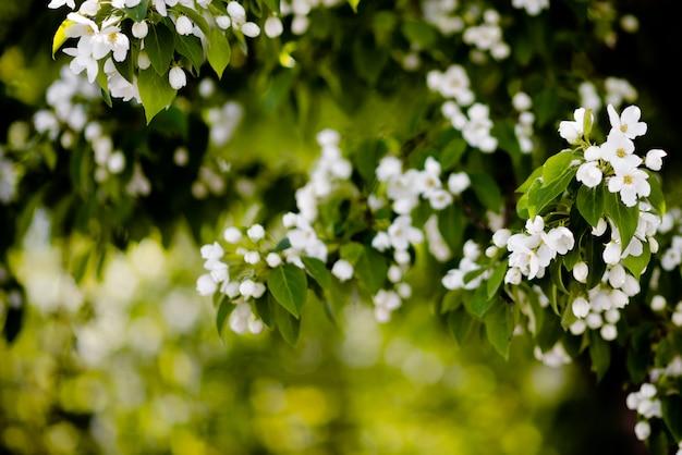 App; e fleurs d'arbre