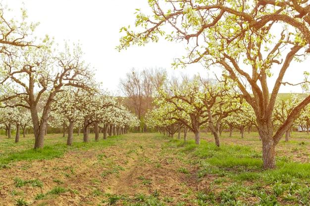 Apple garden avec des arbres en fleurs