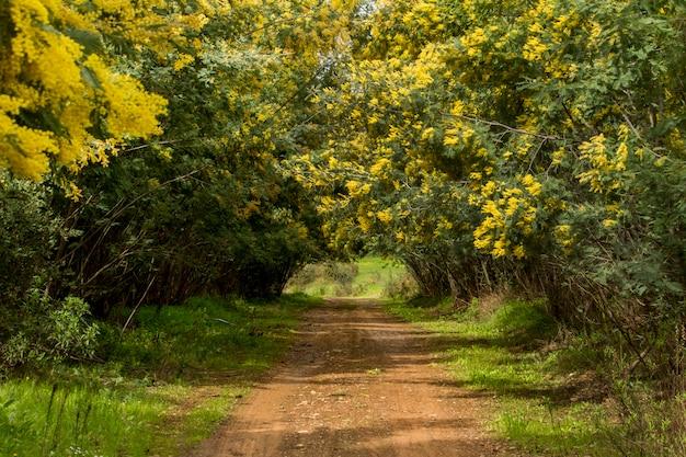 Après la pluie, vue d'un champ de forêt avec des mimosas, avec un ciel nuageux.