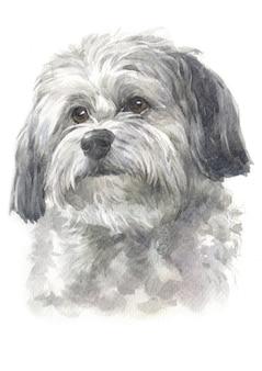 Aquarelle, chien à poil long, fourrure blanche - grise, race bichon havanais