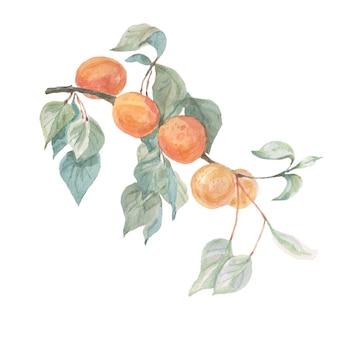 Aquarelle de fruits abricots dessinés à la main
