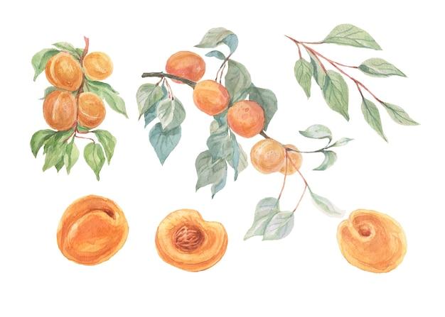 Aquarelle de fruits abricots mis illustration dessinée à la main