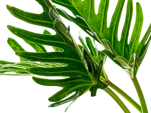 Aquarelle philodendron tropical xanadu feuille