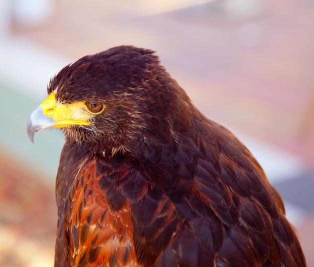 Aquila nipalensis profil de l'aigle steppe