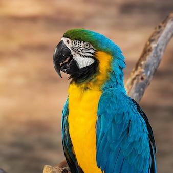 Ara bleu et jaune [ara ararauna] assis sur une bûche