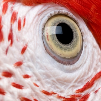 Ara rouge et vert, gros plan sur l'oeil