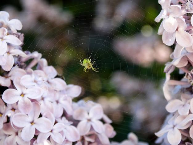 Araignée au centre de sa toile d'araignée entourée de fleurs roses