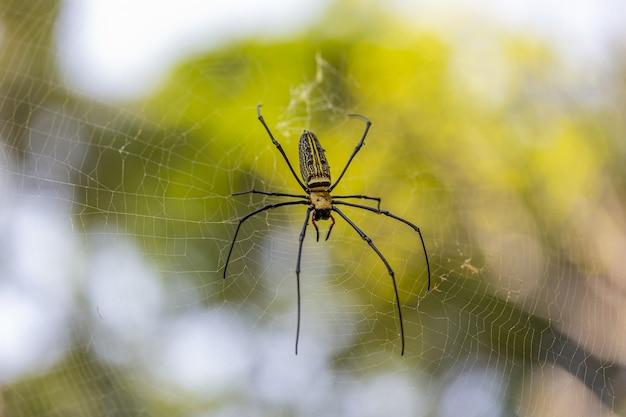 Araignée aux longues pattes sur le web