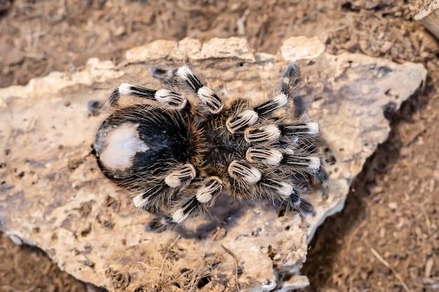 Araignée brune géante dans un gros plan de terrarium.