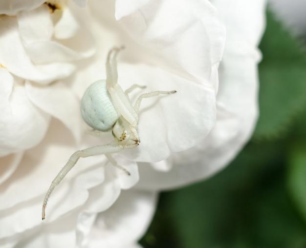 Araignée-crabe blanche de verge d'or imitant la couleur des pétales de rose. araignée blanche sur la fleur.