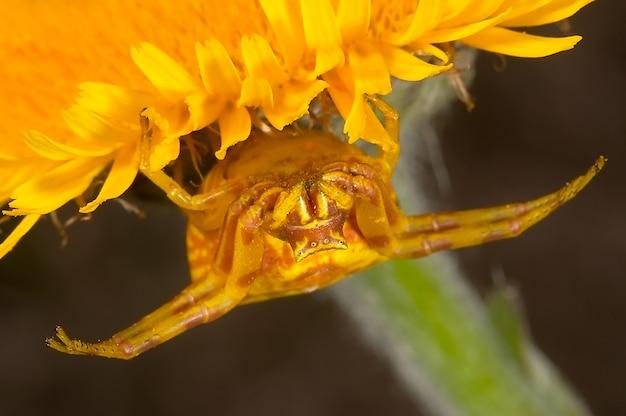 Araignée-crabe (thomisus onustus)