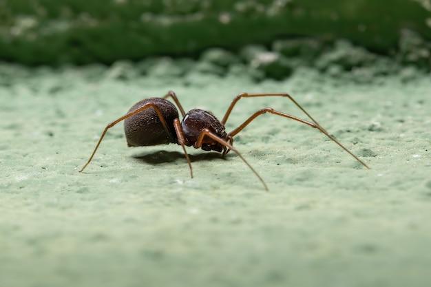 Araignée cracheuse du genre scytodes