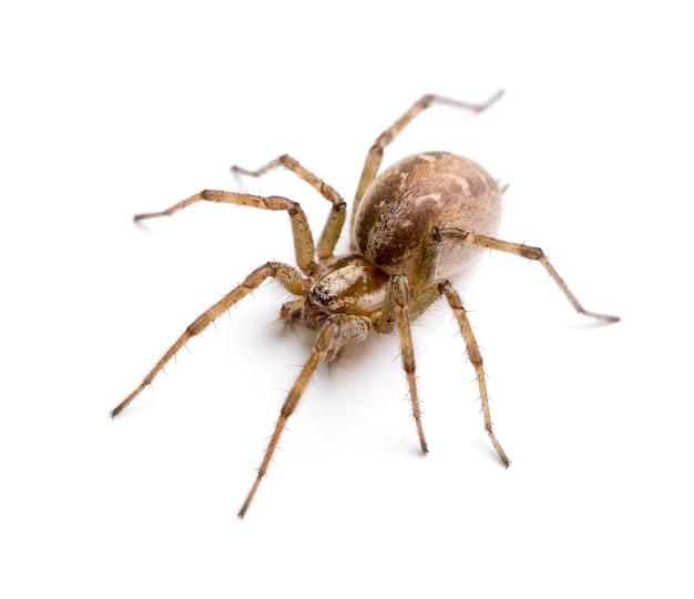 Araignée entonnoir grange- tegenaria agrestis sur un blanc isolé
