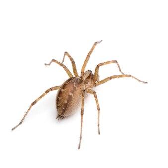 Araignée entonnoir grange - tegenaria domestica sur un blanc isolé