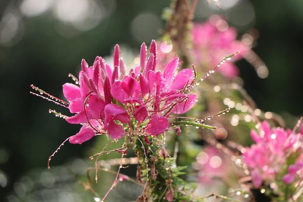 Araignée fleurit de couleur rose qui fleurit dans la nature matinale