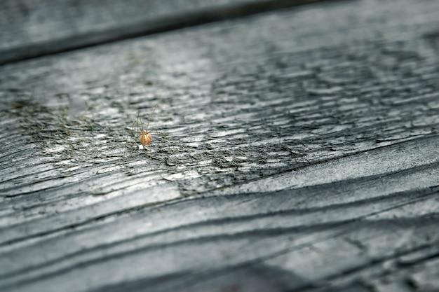 Araignée géante célibataire mâle sur une latte de bois.