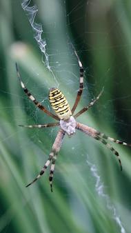 Araignée guêpe / araignée tigre