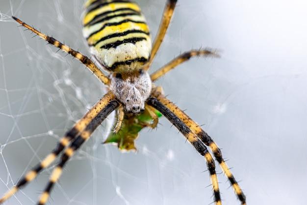 Araignée guêpe argiope bruennichi à rayures noires et jaunes sur le web.