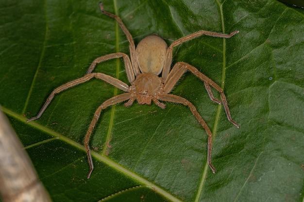 Araignée huntsman jaune de l'espèce famille sparassidae
