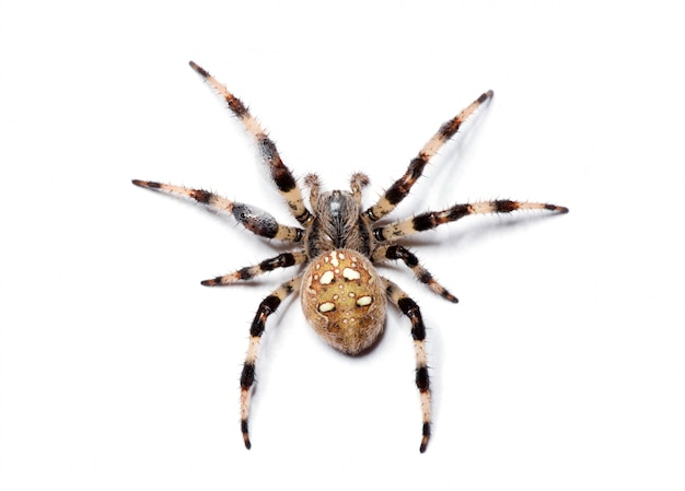Araignée isolée sur blanc