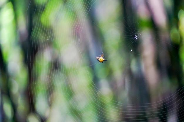 L'araignée jaune accrochée à la toile