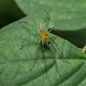 Araignée jaune sur feuille