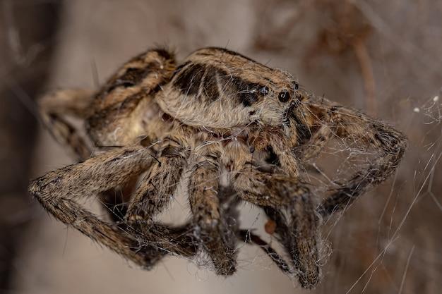 Araignée-loup adulte morte de la famille des lycosidae