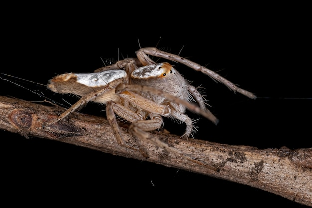 Araignée lynx adulte femelle du genre hamataliwa