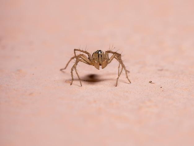 Araignée lynx du genre oxyopes