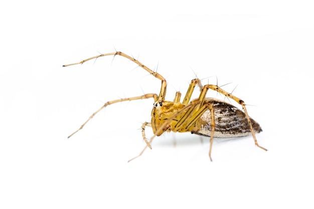 Araignée lynx (hamadruas sp.). insecte. animal